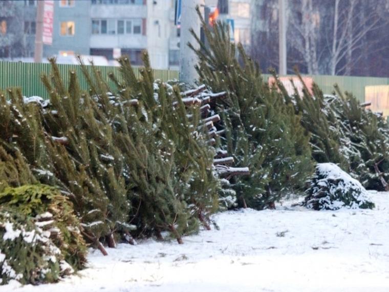 ВОмской области заготовили 37 тыс. елей