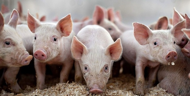 ВОмской области обнаружили захоронение больных чумой свиней